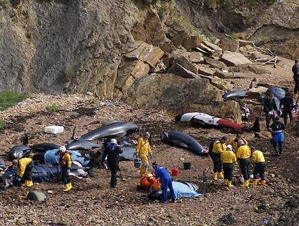 התאבדות לוייתנים בסקוטלנד (צילום: thesun.co.uk)