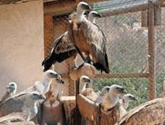 איכות חיים וגרעין רבייה לנשרים (צילום: רונן)