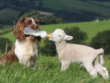 ג'ס הכלבה המאמצת כבשים (צילום: dailymail.co.uk)