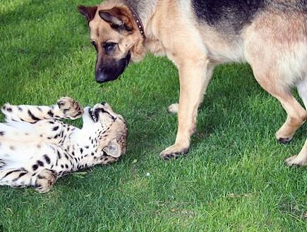 צ'יטה בתור חיית מחמד (צילום: dailymail.co.uk)