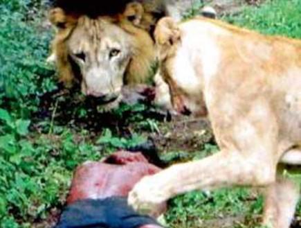 רב עם אישתו וקפץ לכלוב האריות