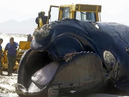 הלוויתן על החוף