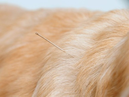 דיקור לכלבים - צילם יגאל פרדו (צילום: יגאל פרדו)