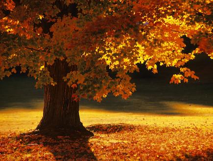 עץ מייפל בוורמונט