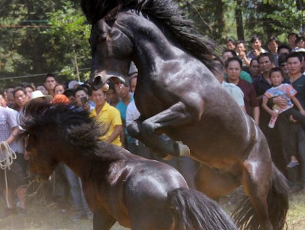 קרבות סוסים בסין (צילום: dailymail.co.uk)