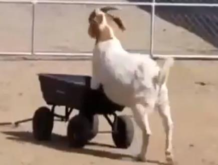 race goat