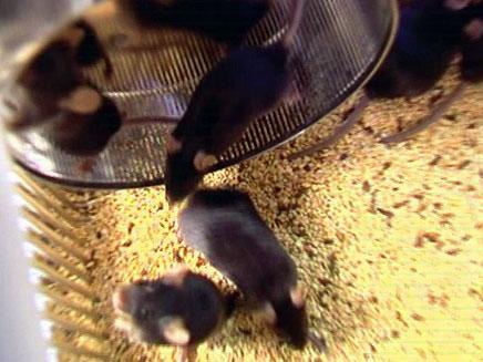 עכברים מבצעיים. צפו בכתבה המלאה (צילום: חדשות 2)