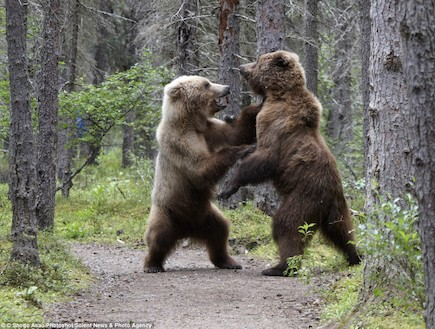 קרב דובים בפארק הלאומי באלסקה (צילום: dailymail.co.uk)