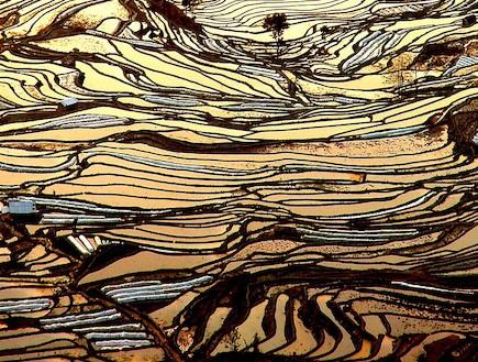 אחד משדות האורז הגדולים בעולם