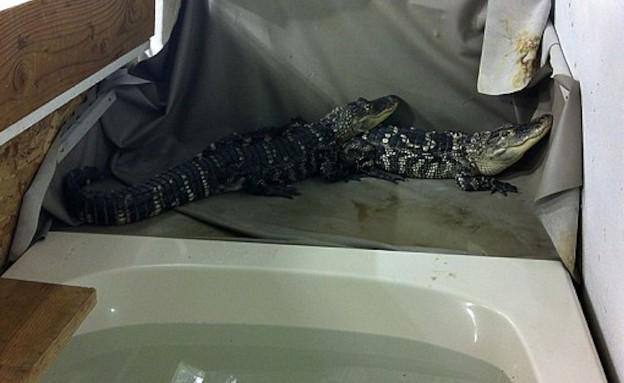 התנינים ששומרים על המריחואנה (צילום: צילום מסך daily mail)