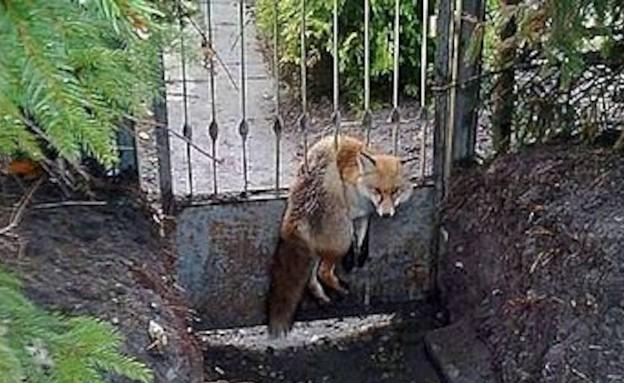 שועל שנתקע בגדר (צילום: austriantimes.at)
