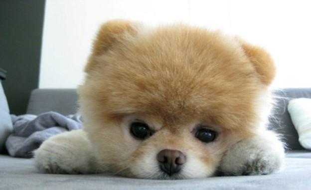 הכלב Boo (צילום:  Photo by Flash90)