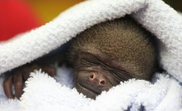 בואנו הקוף (צילום: dailymail.co.uk)