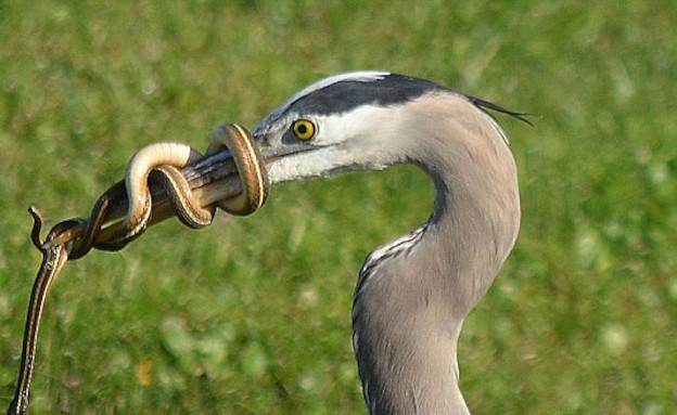 הנחש משיב מלחמה (צילום: צילום מסך daily mail)