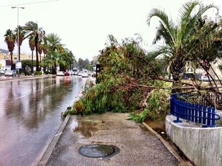 עץ נפל בתל אביב (צילום: גיא צברי)