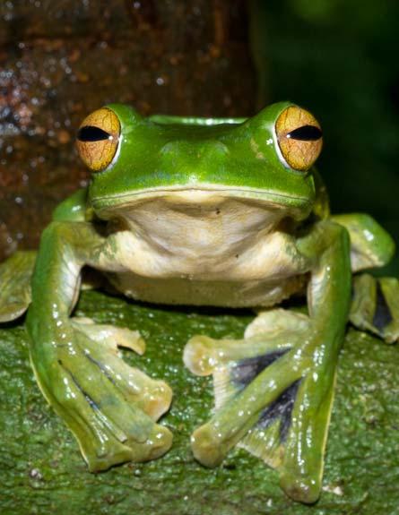 מין הצפרדע החדש שנמצא (צילום: רויטרס)