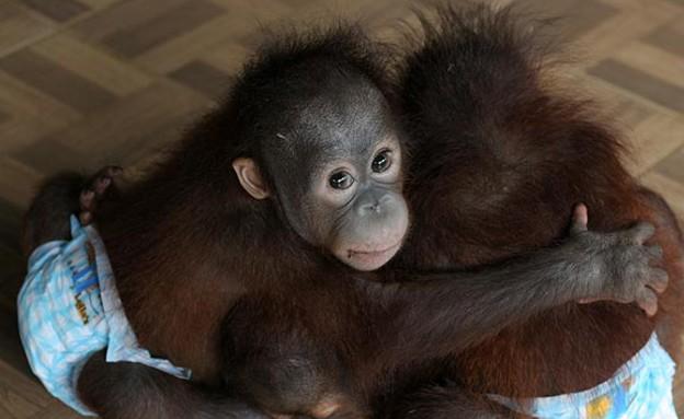 מקלט הקופים בבורניאו (צילום: thesun.co.uk)
