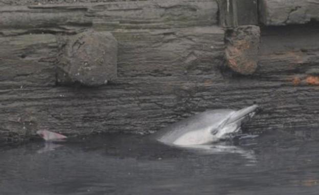 דולפין בתעלה בברוקלין (צילום: nydailynews.com)