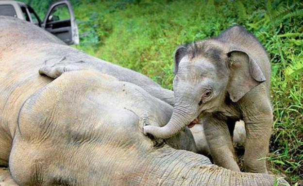 הפיל הגמדי שאמו הורעלה לומד ליהנות שוב