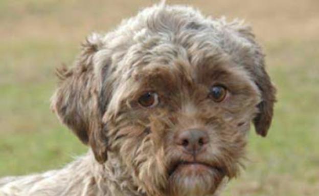 כלב הפודל טוניק עם פנים אנושיות