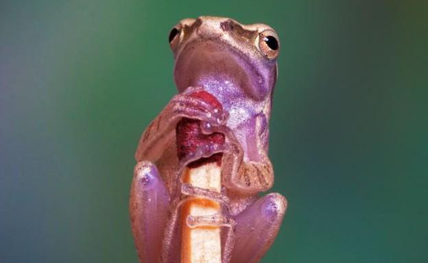 צפרדע פיצית