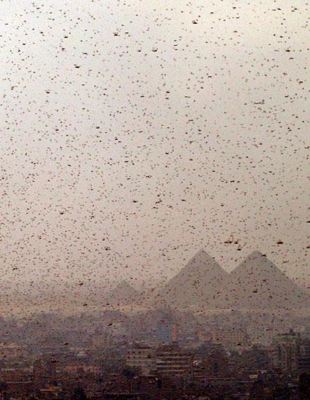 ארבה במצרים (צילום: רויטרס)