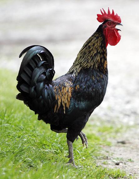 התרנגול הרעיש והורחק, ארכיון (צילום: AP)