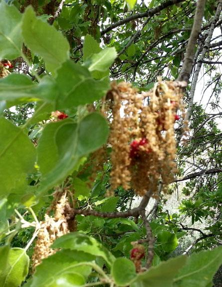 פריחת עץ האלון (צילום: המעבדה לניטור אלרגנים)