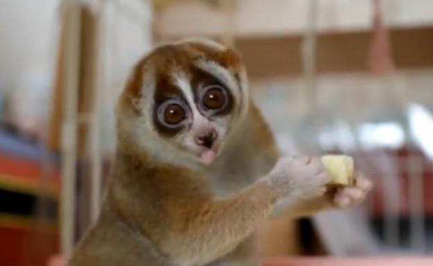 לוריס אוכל בננה