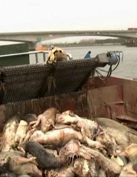 תעלומת חזירים בסין. צפו (צילום: חדשות 2)