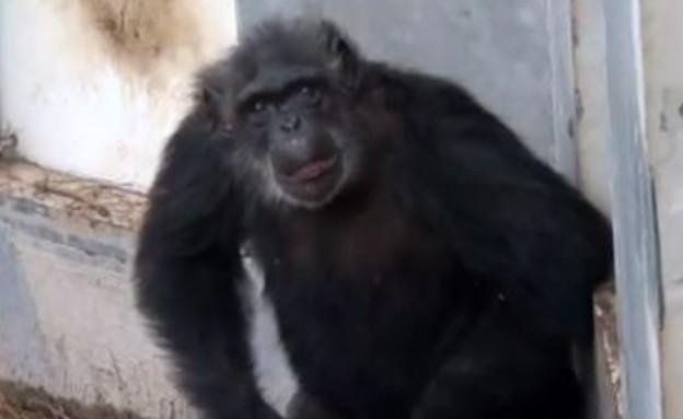 קופים יוצאים ממעבדה בעת פרישה