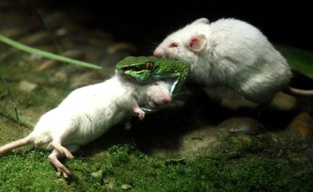 עכבר תוקף נחש (צילום: msn.com)