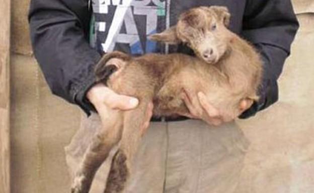 העז שנולדה בלי רגליים קדמיות (צילום: austriantimes.at)