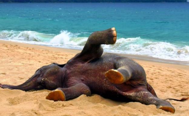 משחק בחול, פיל על חופי תאילנד (צילום: dailymail.co.uk)