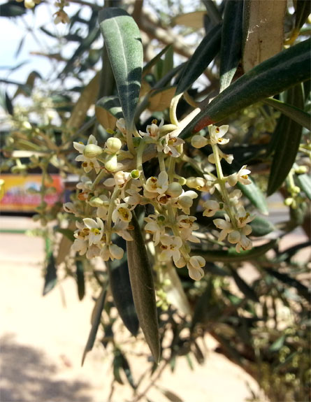 פריחת עץ הזית (צילום: חדשות 2)