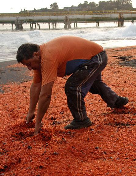 נחילים אדומים בחוף (צילום: רוייטרס)