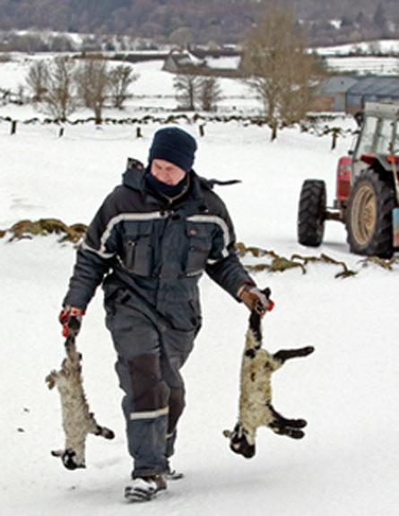 הכבשים לא שרדו. בריטניה מכוסה בשלג (צילום: רויטרס)