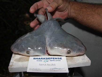 כריש שורי כפול ראש