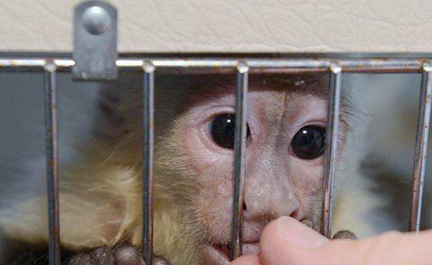 הקוף של ג'סטין ביבר
