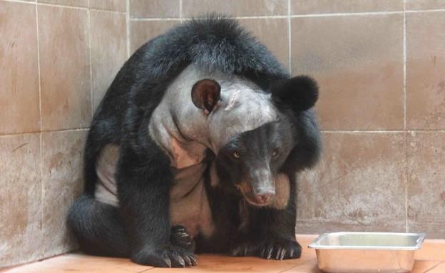הדוב הראשון לעבור ניתוח מוח