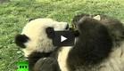 דובי פנדה, סרטון (צילום: youtube.com)