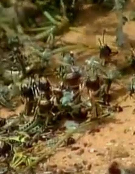 ארבה כחול-לבן (צילום: חדשות 2)