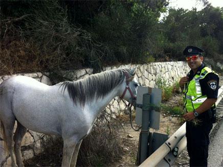 הסוס לאחר שנלכד (צילום: אגף התנועה)