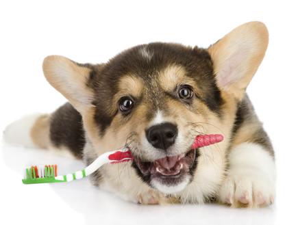 כלב עם מברשת שיניים