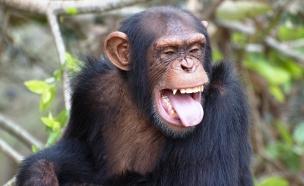 שימפנזה (צילום: Thinkstock)