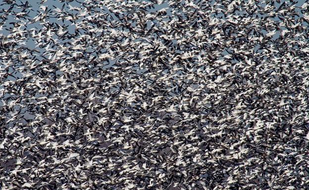 צפוף, נדידת ציפורים (צילום: Doug French)