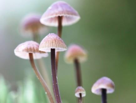 פטריות הזיה (צילום: Thinkstock)