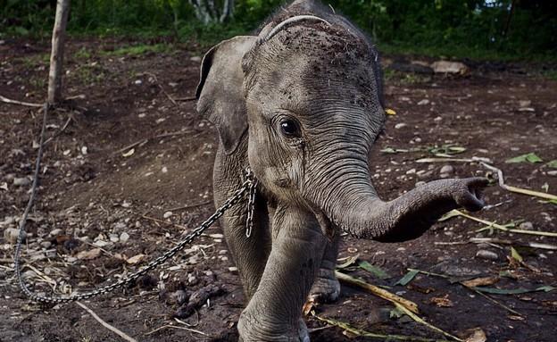 גור הפילים שמוחזק כבן ערובה