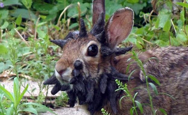 ארנב עם קרניים (צילום: dailymail.co.uk)