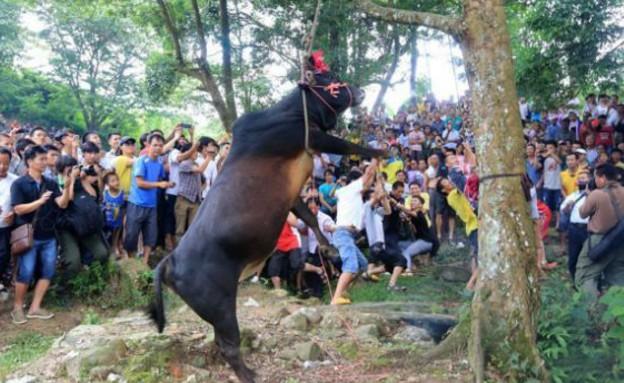 מזעזע: סינים טובחים בשור תלוי מעץ